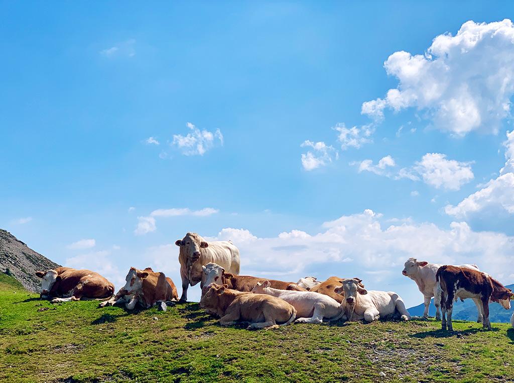 Stier mit Kuhherde